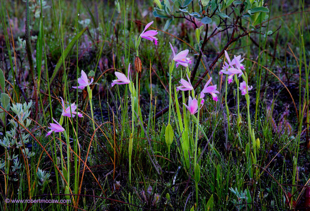 Orchid: Rose Pogonia,Snake-Mouth,Pogonia ophioglossoides